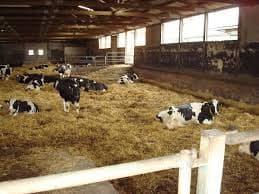 Содержание коровы на приусадебном участке