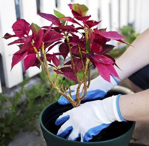 Красавица пуансеттия – размножение растения