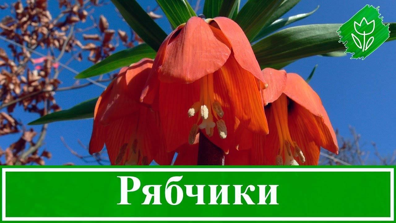 Рябчики: посадка в открытый грунт и уход, выращивание в саду
