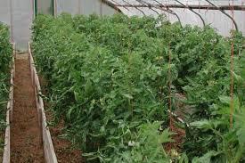 Урожайность томата «марьина роща f1»: правильный уход за растением