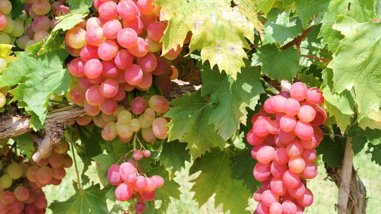 Чем и как подкормить виноград