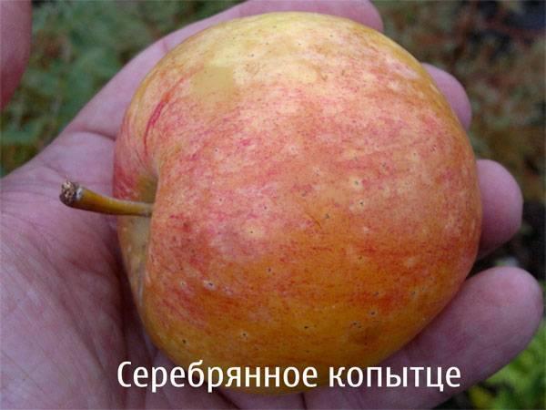 Культивирование яблони «серебряное копытце»