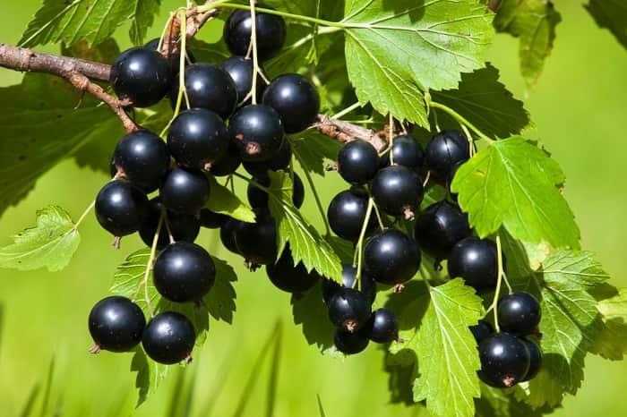 Чем подкормить смородину осенью после сбора урожая для успешной зимовки и будущего обильного урожая