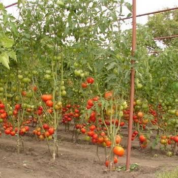Видео: выращивание томатов в открытом грунте
