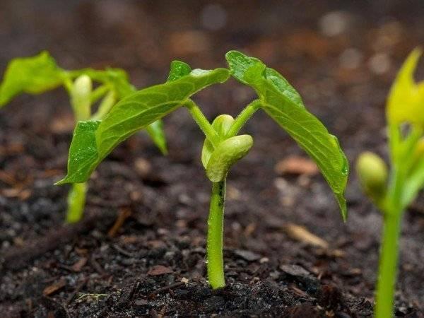 Горох: выращивание и уход в открытом грунте