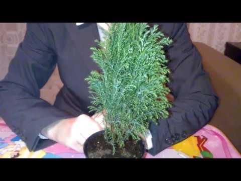 Кипарис крупноплодный в комнатных условиях