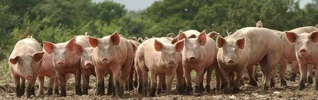 Вас интересует свиноводство как бизнес?