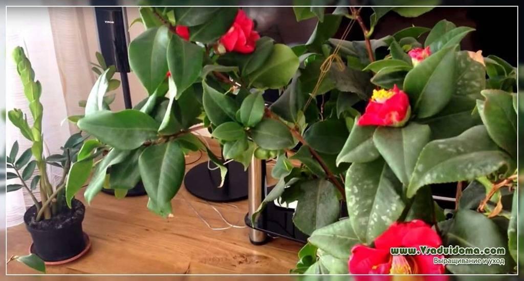 Камелия японская: особенности и уход в домашних условиях