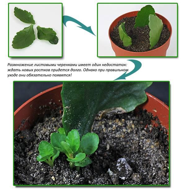 Как размножать каланхоэ в домашних условиях листом и черенками