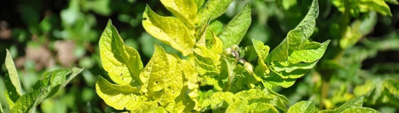Почему желтеют листья картофеля и что делать в такой ситуации