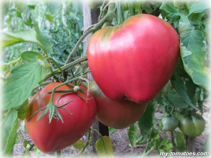 Описание сорта помидор «батяня»