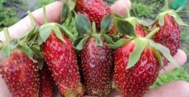 Описание и характеристики сорта клубники купчиха, выращивание и уход