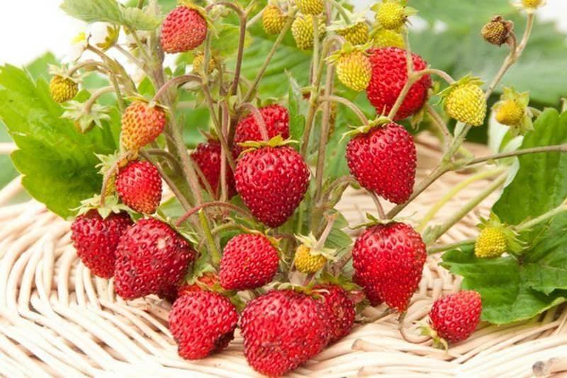 Земляника сорта руяна – алые ягодки все лето
