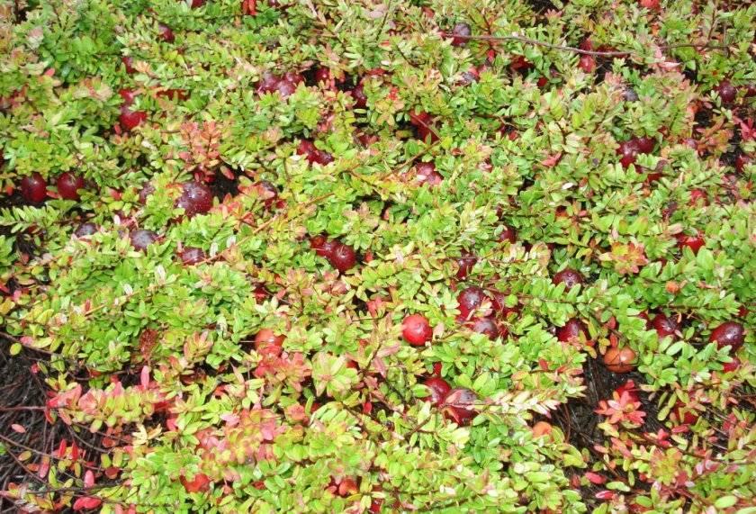 Садовая клюква: особенности посадки и выращивания