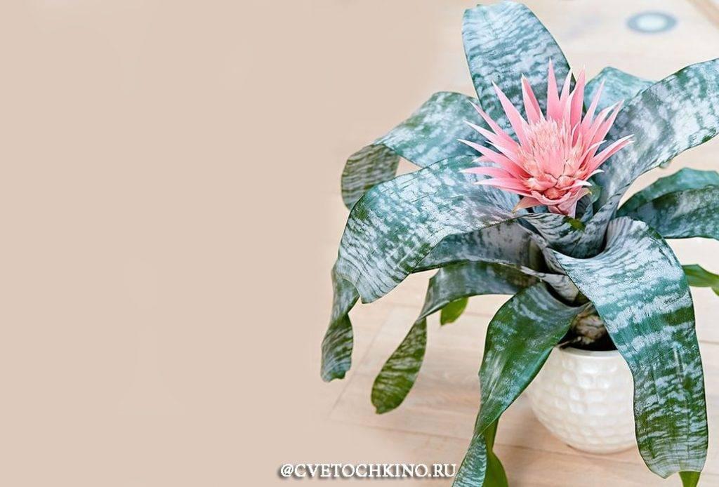 Иксора, удивительное растение в домашнем саду