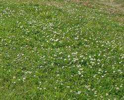 Через сколько дней всходит клевер после посева. клевер как сидерат: осенние и весенние посадки, перед какими растениями высаживать