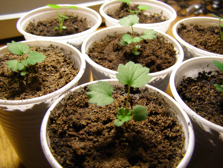 Возможно и в вашем саду найдется место для земляники сорта александрина
