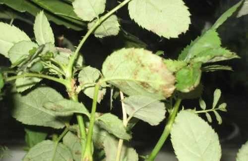 Спасаем розу от скручивания и увядания листвы