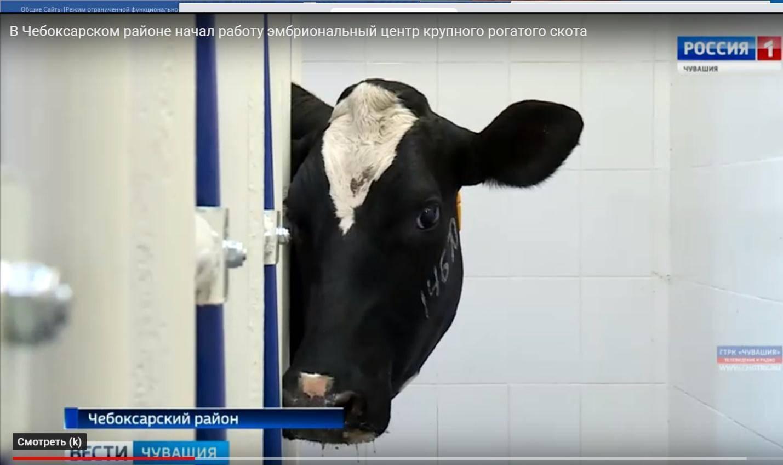 Содержание крупнорогатого скота: основные правила, рекомендации по составлению рациона