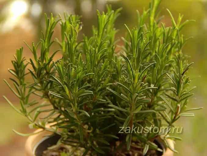 Выращивание розмарина в открытом грунте, правила ухода