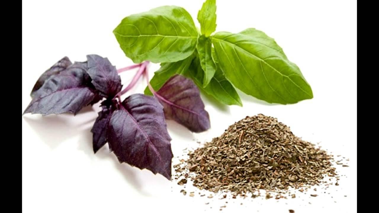 Все о выращивании базилика в домашних условиях: куда и как посадить семена? особенности ухода