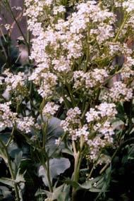 Катран хрен фото. как выращивать сорт хрена катран