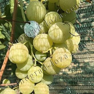 Виноград ризамат: что нужно знать, описание сорта, отзывы