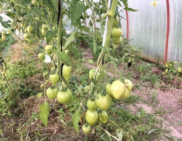 Серия помидоров бизон: сахарный, малиновый, черный, желтый и оранжевый