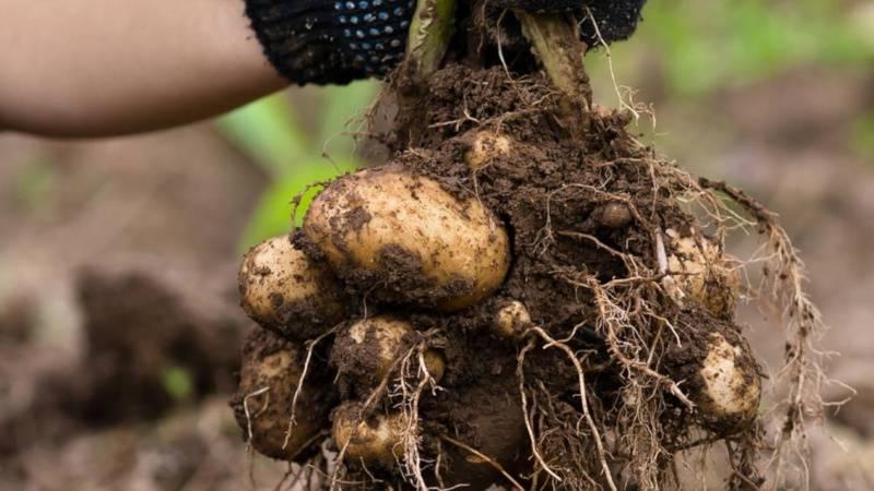 Когда собирать картошку после посадки