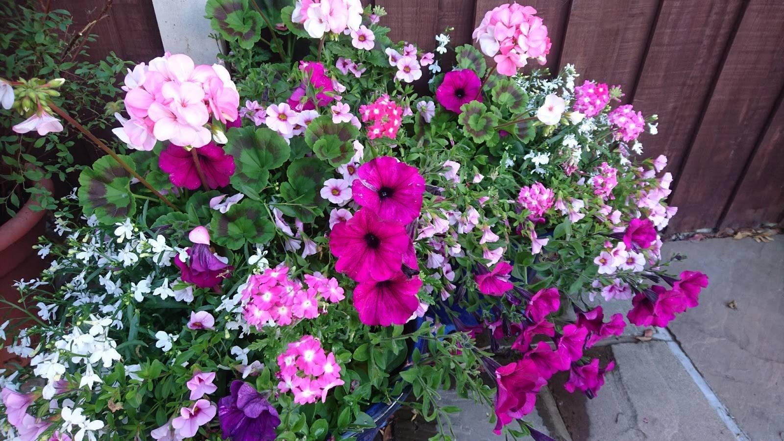 Семена пеларгонии — эффективный способ проращивания в мини-парнике, видео