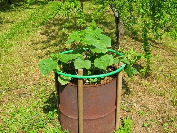 Выращивание огурцов в мешках (видео)