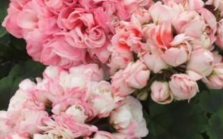 Очень необычная и привлекательная герань – тюльпановидная. особенности выращивания и правила ухода