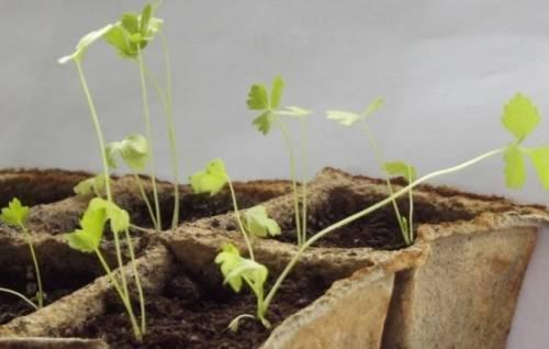 Сроки посева черешкового, корневого и листового сельдерея на рассаду в 2020 году