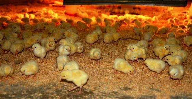 Какие витамины давать цыплятам бройлерам?