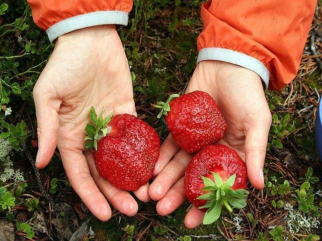 12 лучших сортов клубники для выращивания в подмосковье в открытом грунте