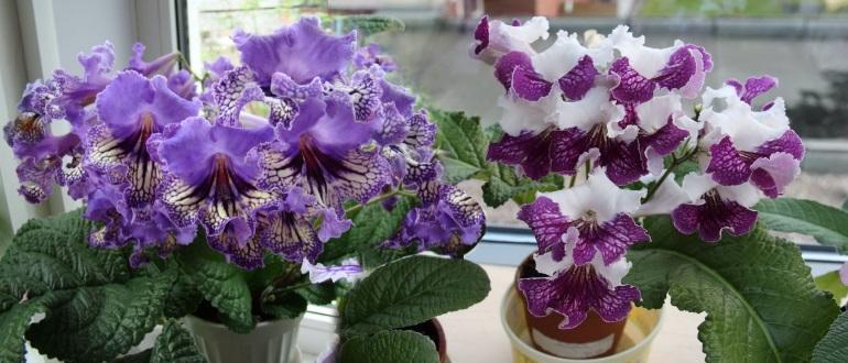 Стрептокарпусы — уход и выращивание в домашних условиях