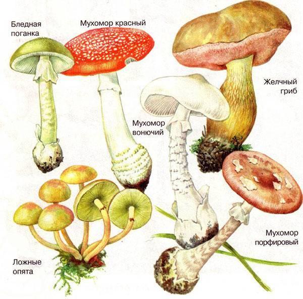 Как разделить чайный гриб. какую часть нужно отделять для размножения? отделяем верхний пласт. п/о,видео.