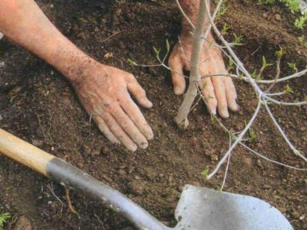 Выращивание сливы в саду – все о посадке, поливе, подкормках и обработках