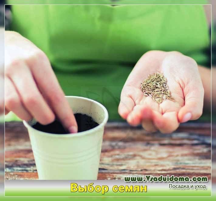 Все, что надо знать для выращивания пастернака из семян в открытом грунте