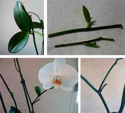 Руководство для начинающих цветоводов, как размножать орхидею в домашних условиях и на улице