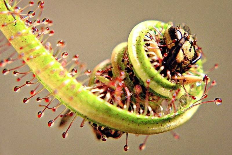 Ядовитые и опасные растения-хищники