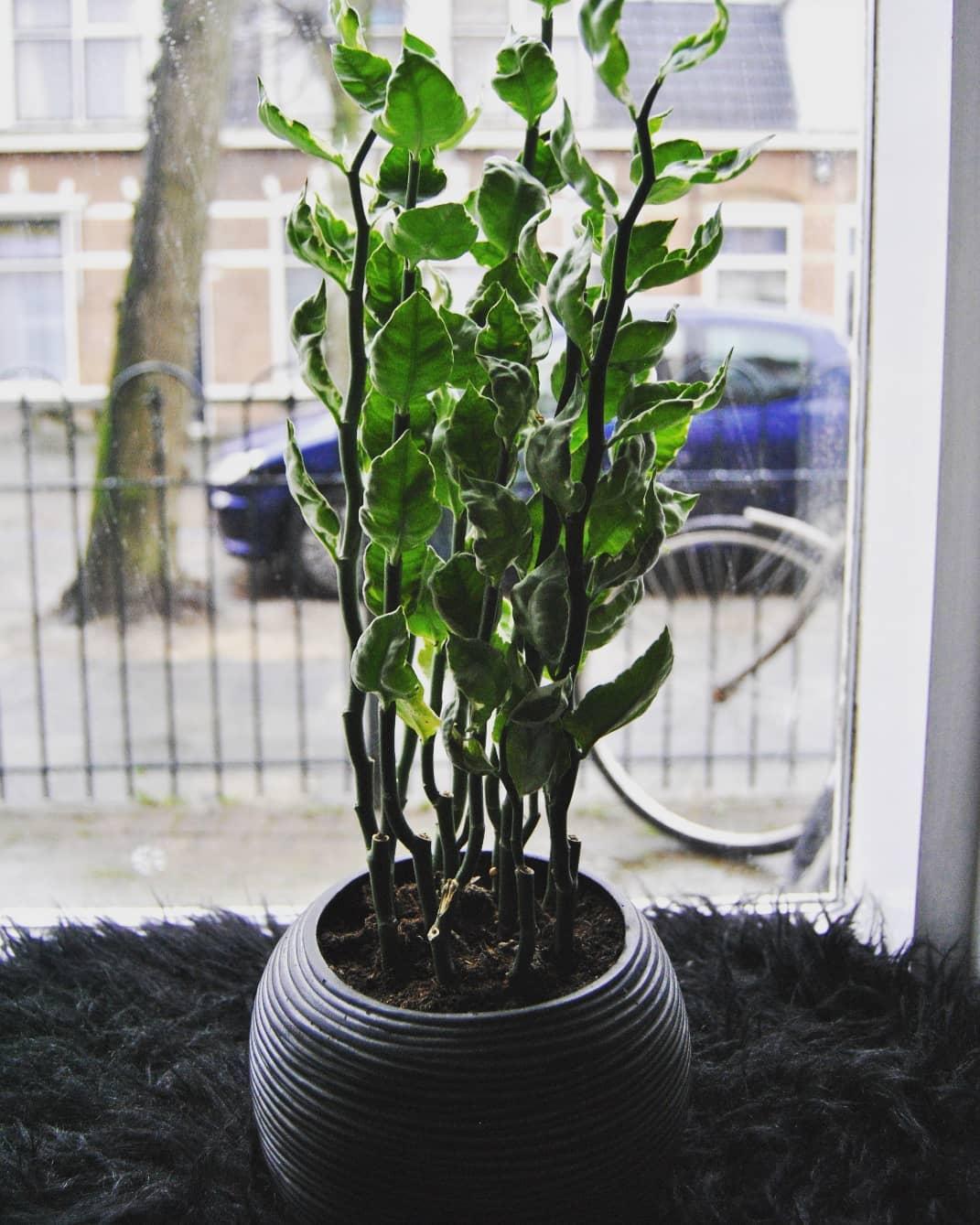 Педилантус титималоидный — уход и размножение комнатного растения