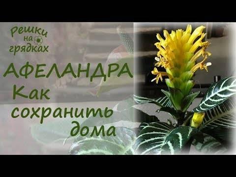 Фото афеландры и уход за цветком в домашних условиях