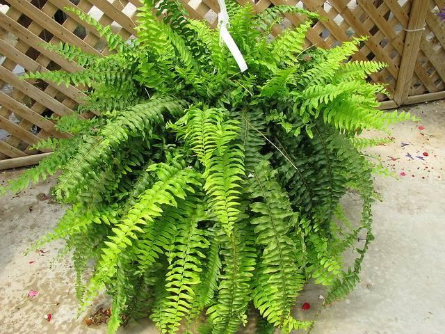 Выращиваем тропический папоротник нефролепис дома