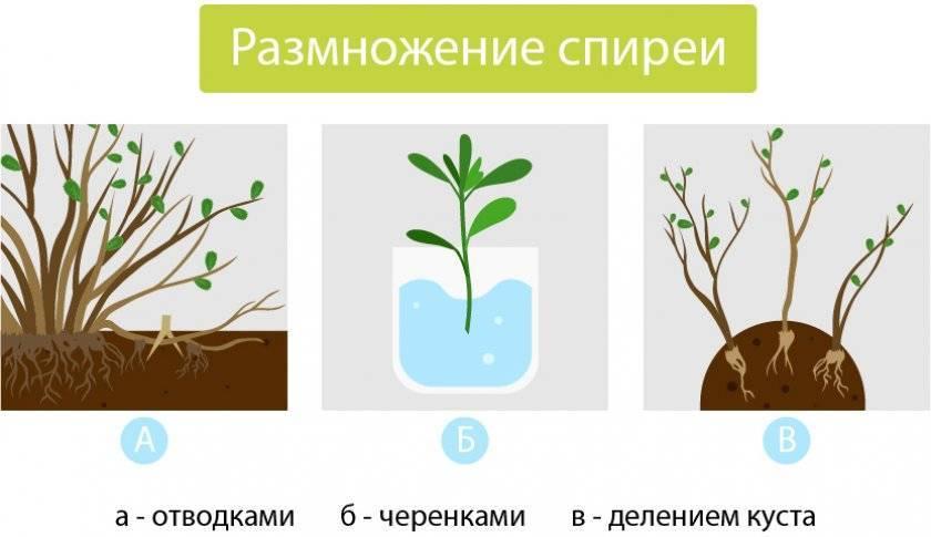 Как посадить спирею. как размножать цветок черенками
