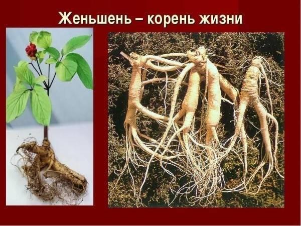 Настойка корня женьшеня: особенности применения и противопоказания