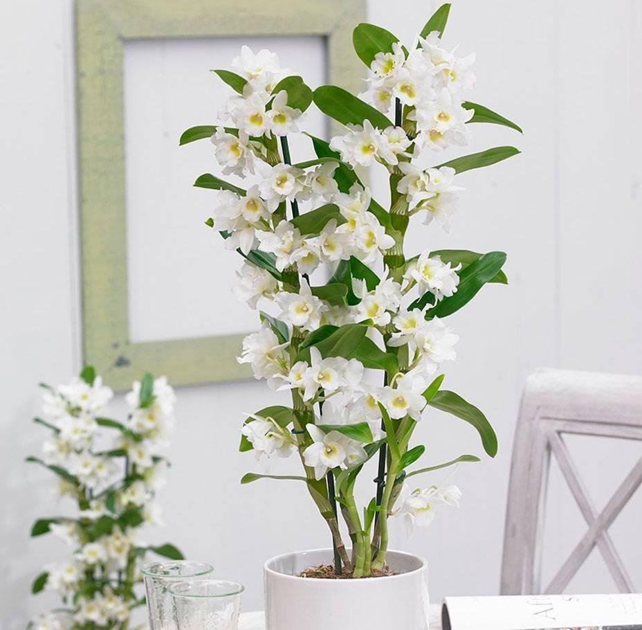 Орхидея дендробиум нобиле — уход и размножение в домашних условиях