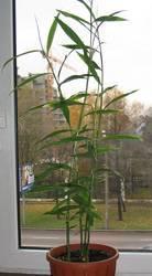 Выращивание полезного и красивого имбиря в домашних условиях