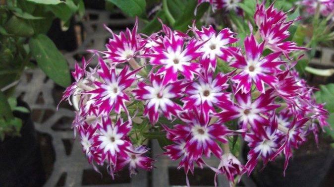 Цветы флоксы: 8 советов по посадке и уходу