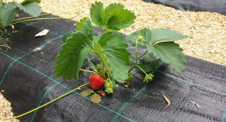 Как сажать клубнику в открытый грунт